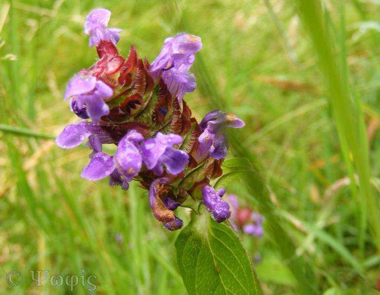 Self-heal,Prunella vulgaris