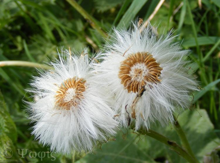 Coltsfoot seeds