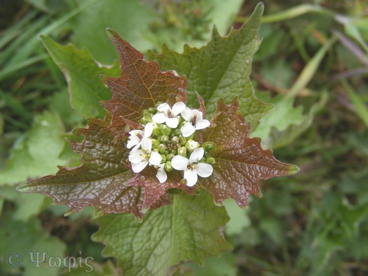 garlic mustard,Alliaria petiolata