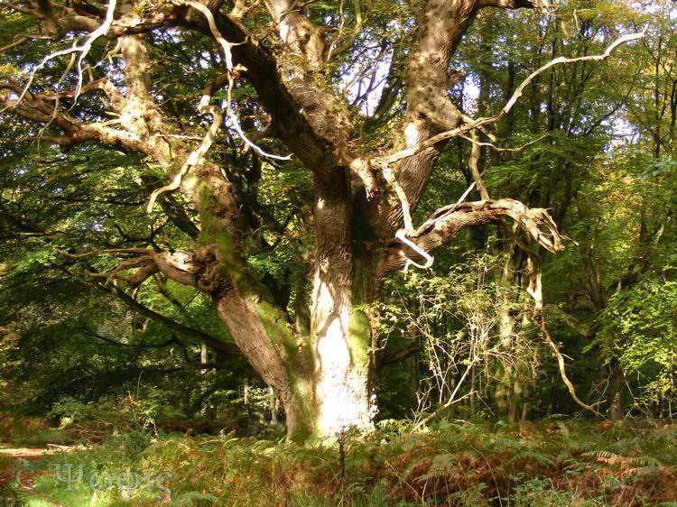 savernake forest,oak