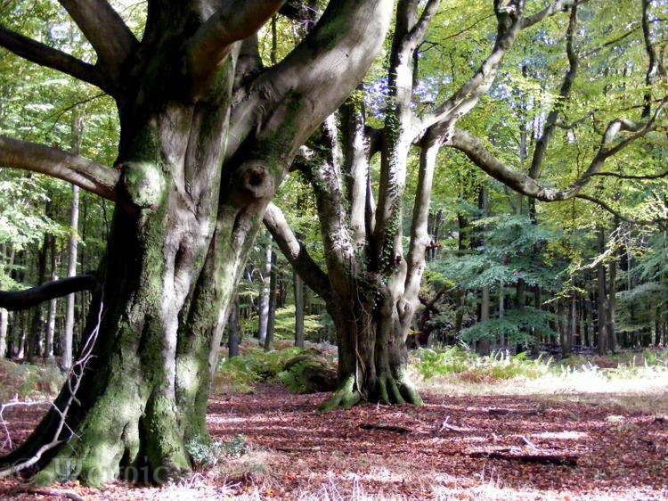 savernake forest,beech