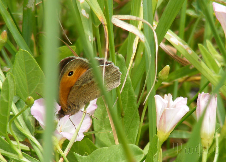 Small Heath butterfly,Coenonympha pamphilus