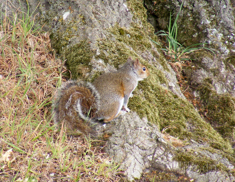 Grey squirrel,Sciurus carolinensis