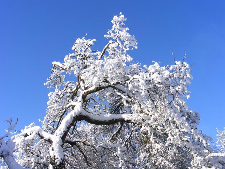 snow,tree