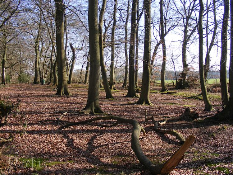 Beech woodland,winter