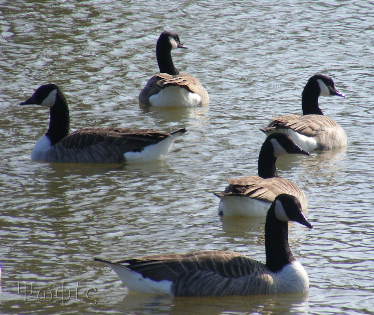 Canada geese,Thames