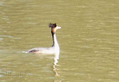 Great Crested Grebe,Thames