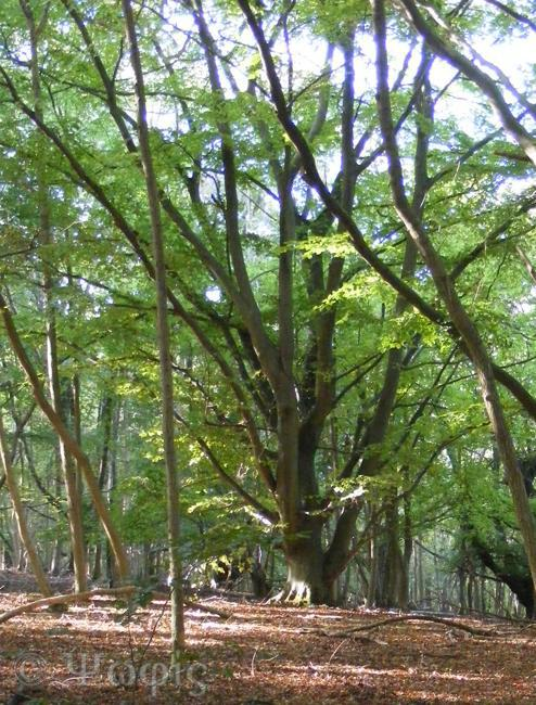 Warburg,beech,woodland