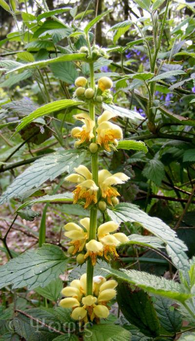 Yellow Archangel,Lamiastrum galeobdolon