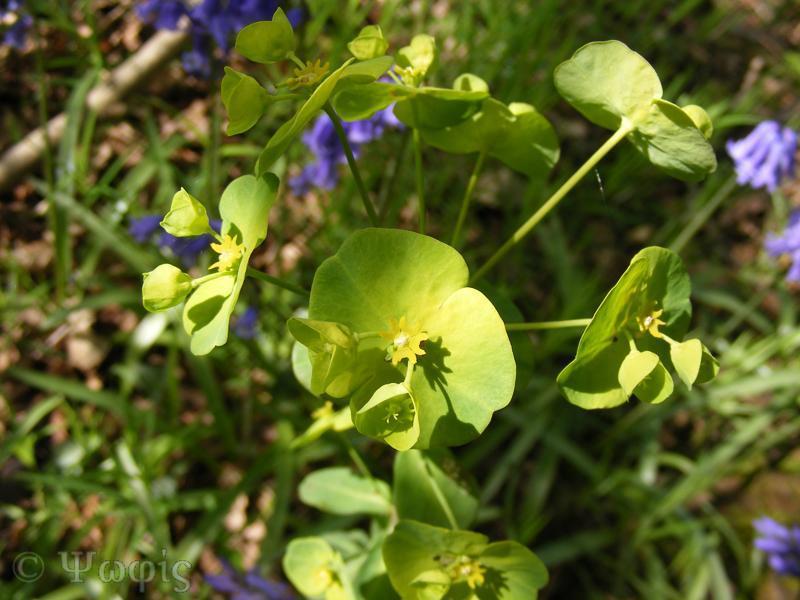 wood spurge,Euphorbia amygdaloides
