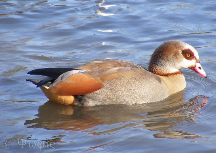 thames,egyptian goose