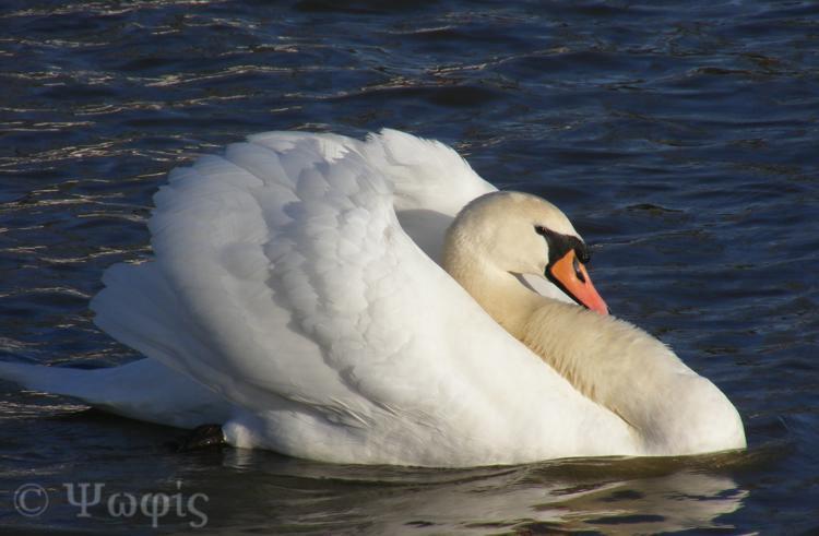 thames,swan