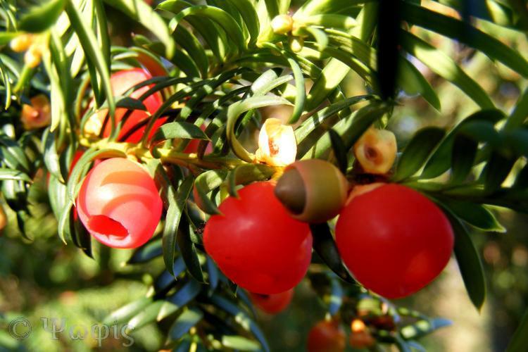 yew berries,aril