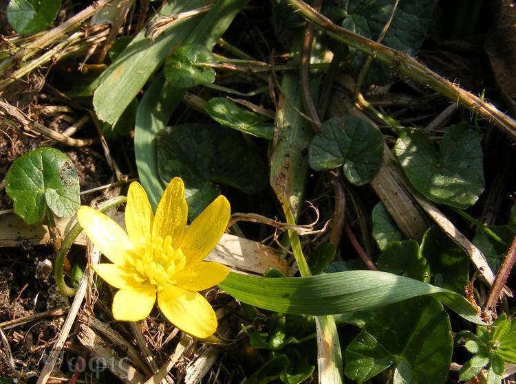 Lesser Celandines,Ranunculus ficaria