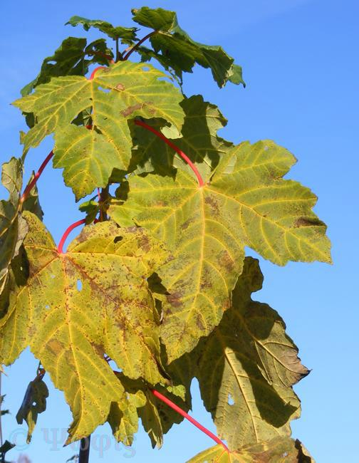 leaves,sycamore