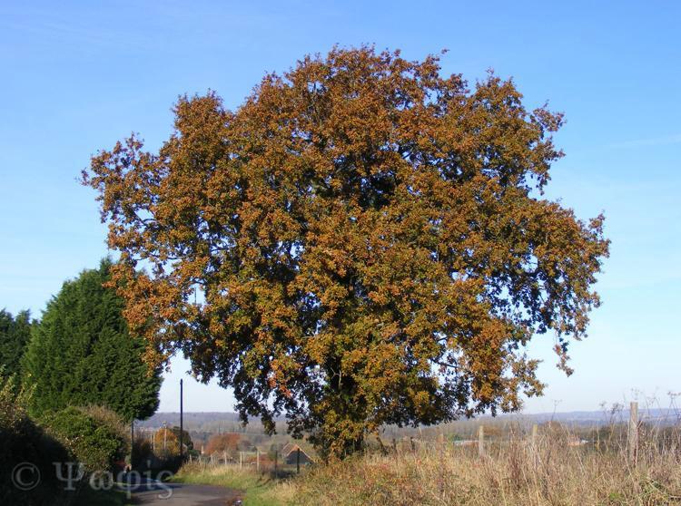 oak,autumn