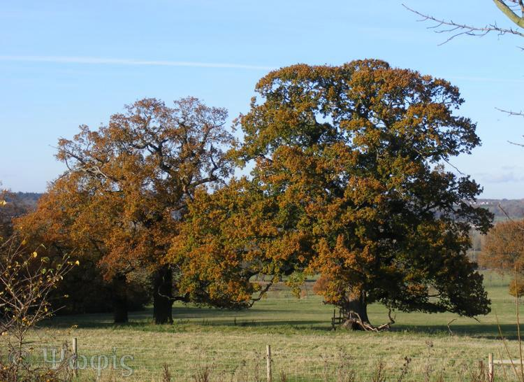 oak,autumn