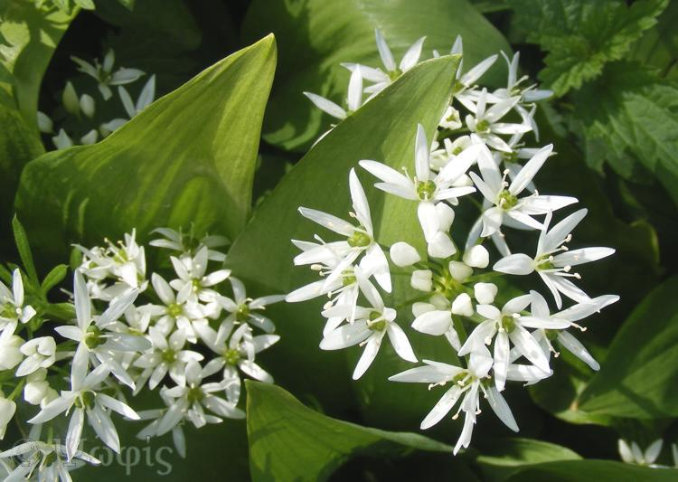 wild garlic,Allium ursinum