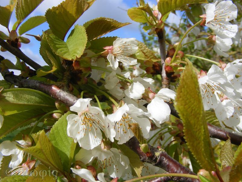 cherry,blossom