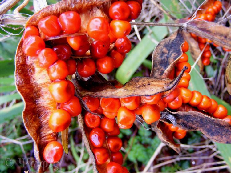 Iris seeds