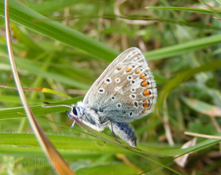 Common Blue Butterfly,Polyommatus icarus