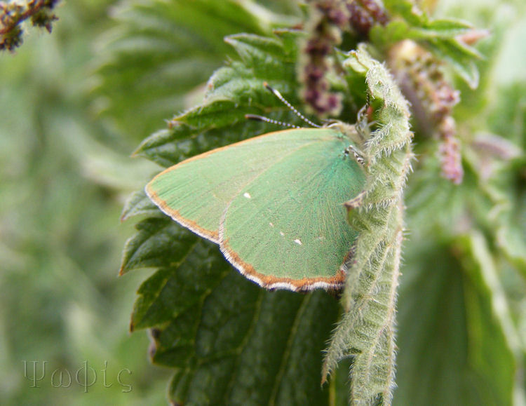 Green Hairstreak,Callophrys rubi