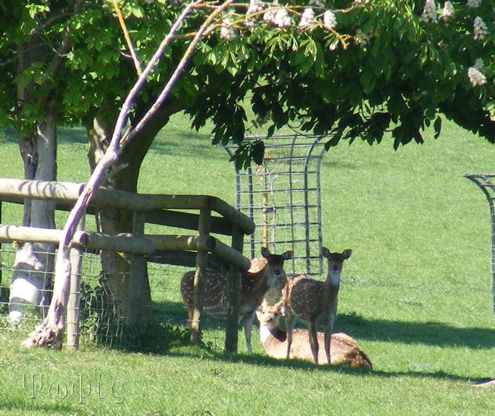 Fallow deer,Cervus dama