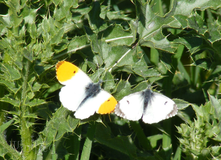Orange tip butterfly,butterfly,Anthocharis cardamines