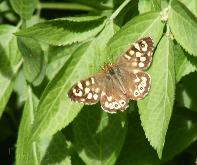 Speckled Wood,butterfly,Pararge aegeria
