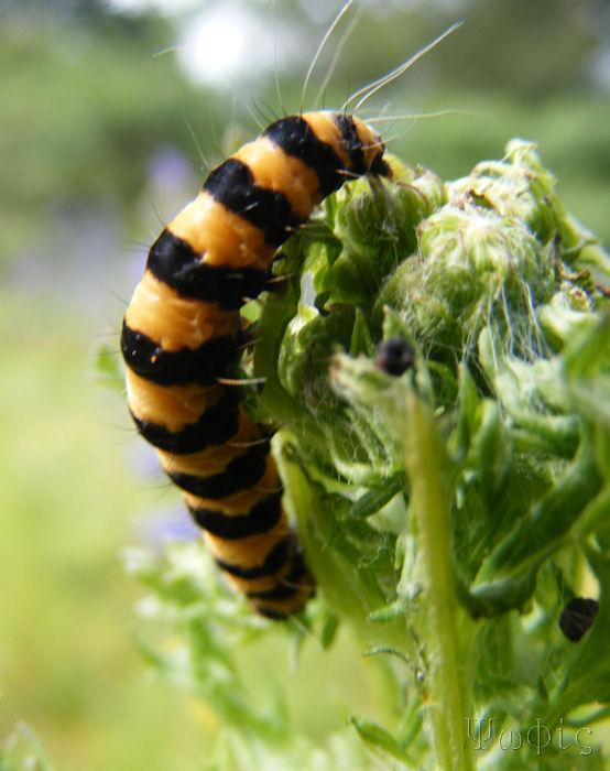 cinnabar moth catterpillar