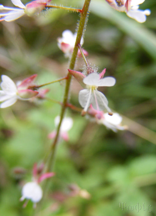Enchanters Nightshade