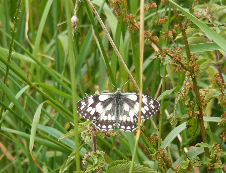marbed white,Melanargia galathea