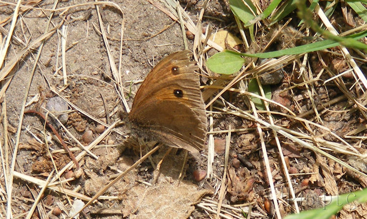Ringlet,butterfly