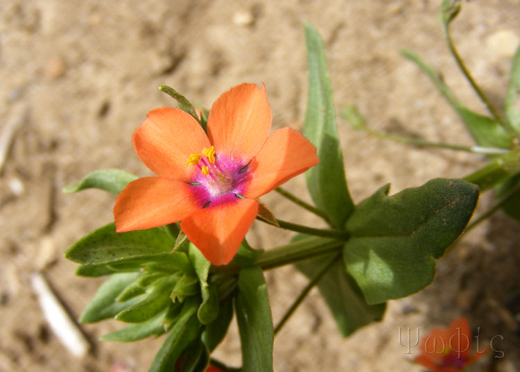 scarlet pimpernell,Anagallis arvensis