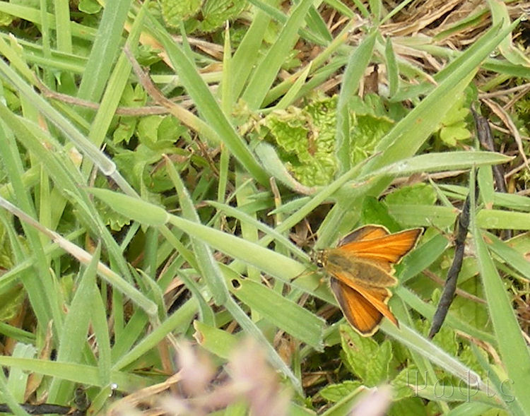 Small Skipper,butterfly
