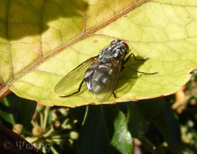 flesh fly,Sarcophaga carnaria