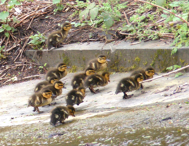 Mallard duckings
