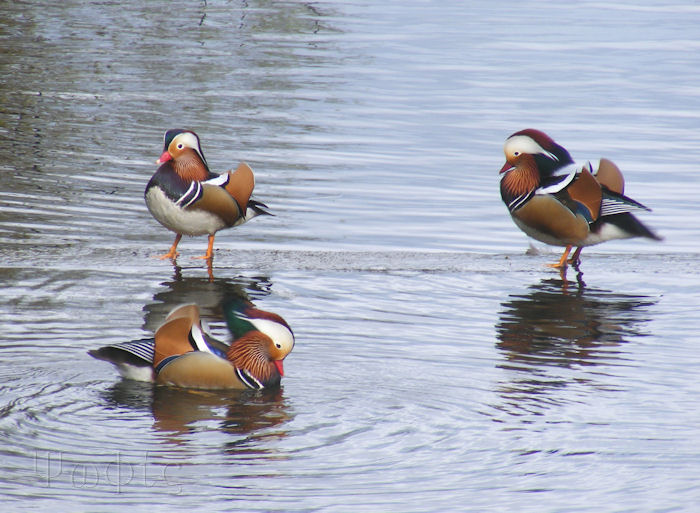 mandarin ducks,Aix galericulata
