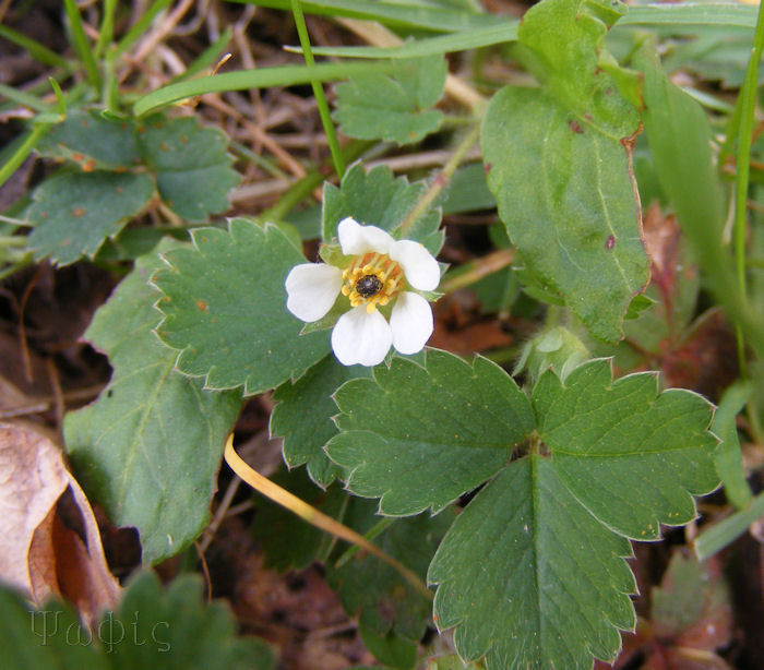 Barren Strawberry,Potentilla sterilis