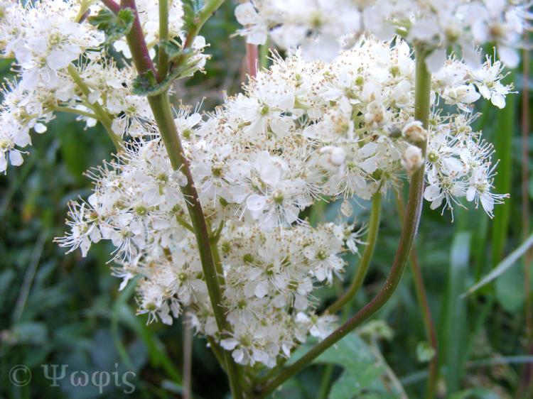 meadowsweet,Filipendula ulmaria