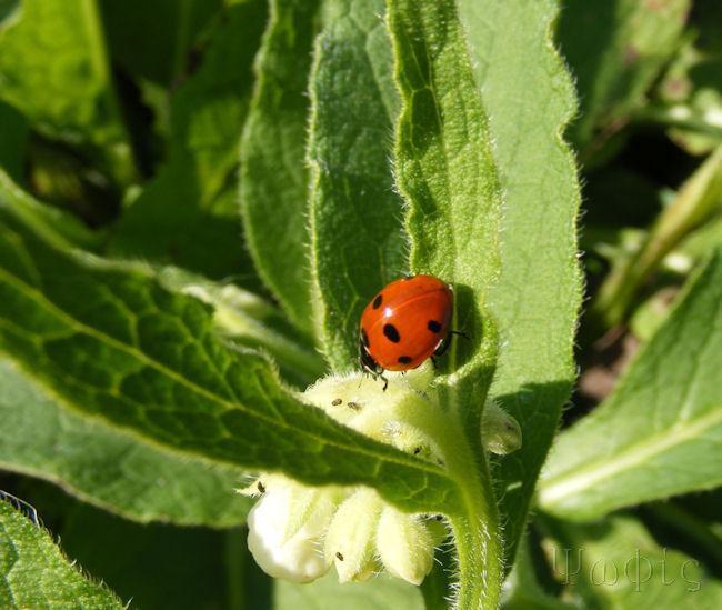Comfrey,Symphytum tuberossum,seven spot ladybird,Coccinella 7-punctata