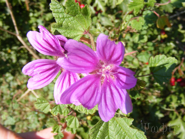 Marsh Mallow,Althaea officinalis