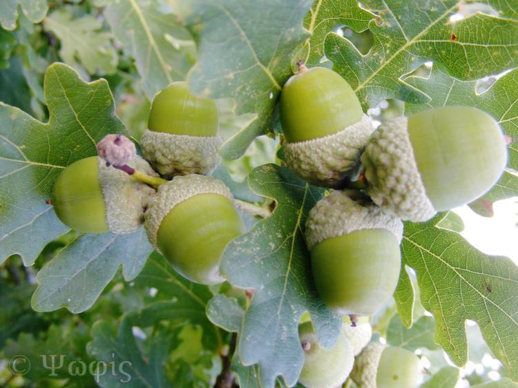 acorn,oak tree