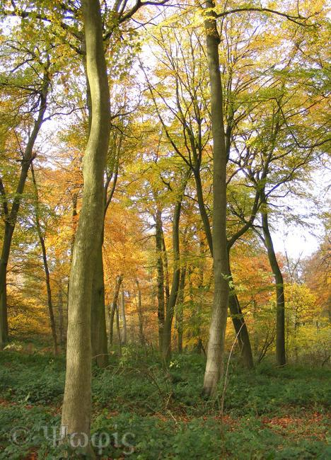 beech woods,autumn