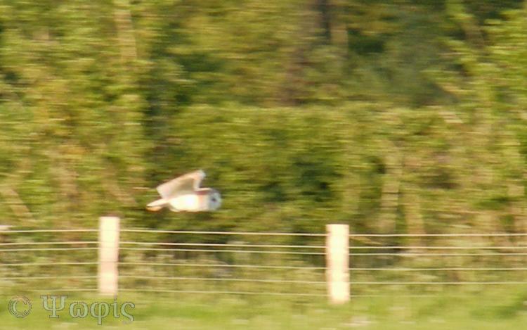barn owl,flight