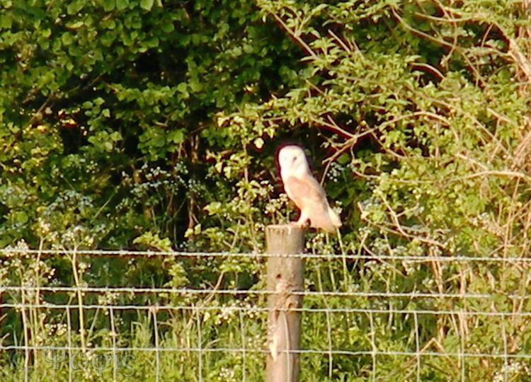 barn owl,perched