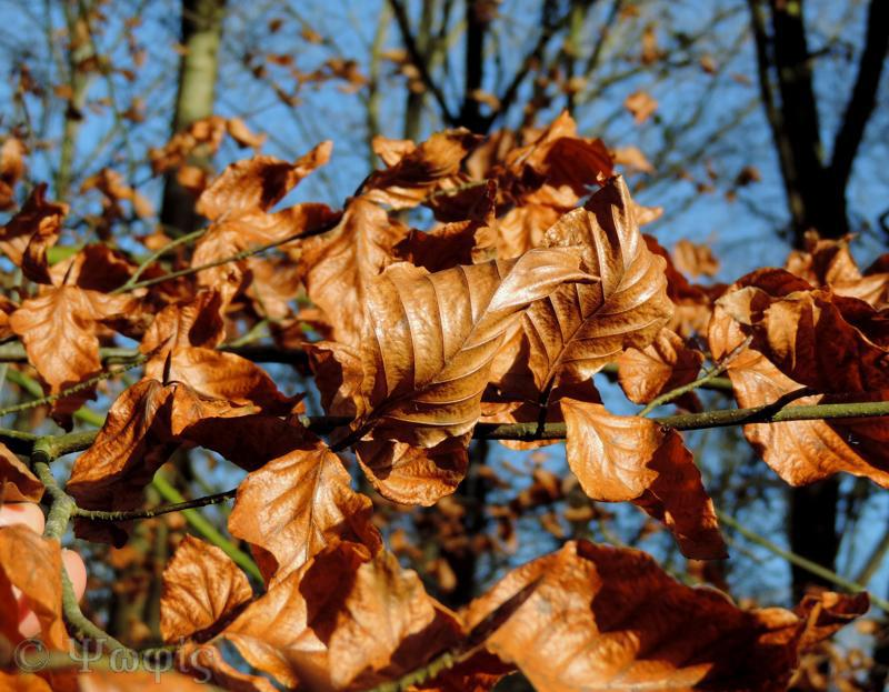 beech leaves,autumn