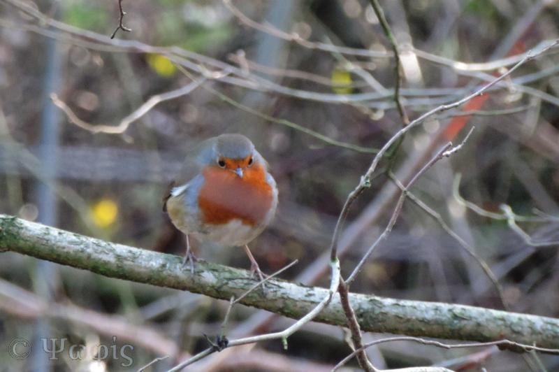 robin,bird