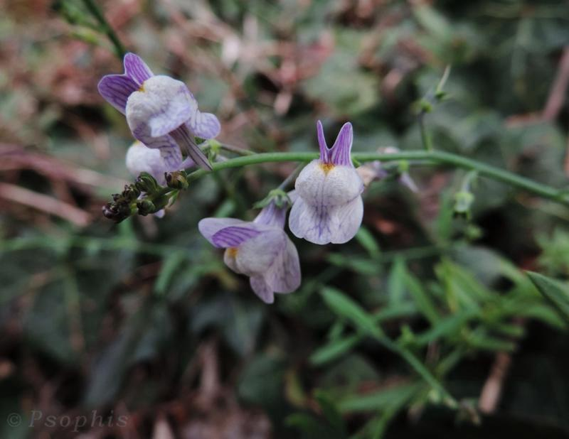 pale toadflax,Linaria repens
