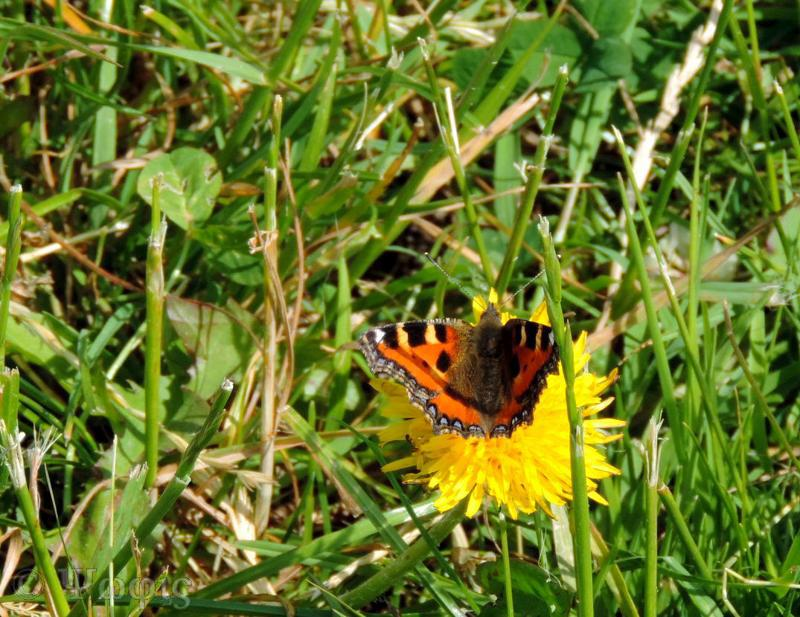 small tortoiseshell,butterfly,Aglais urticae